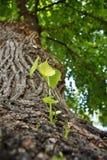 Ramos novos e folhas que crescem do tronco de uma árvore velha Foto de Stock