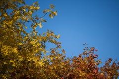 Ramos outonais azuis do céu e de árvore Fotos de Stock Royalty Free