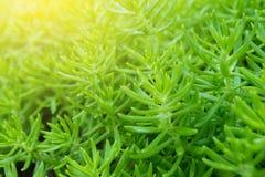 Ramos pequenos das folhas verdes de flores grandiflora de Portulaca no jardim para o fundo e a textura com espaço da cópia Fotos de Stock Royalty Free