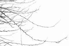 Ramos secados na árvore no fundo isolado fotografia de stock royalty free