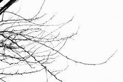 Ramos secados na árvore no fundo isolado imagens de stock royalty free