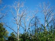 Ramos secos das árvores Imagem de Stock