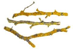Ramos secos das árvores cobertas com o líquene isolado no fundo branco Foto de Stock