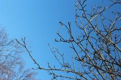 Ramos sem folhas e o céu azul foto de stock