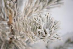 Ramos Spruce cobertos com a geada e a neve no weat de congelação Foto de Stock Royalty Free