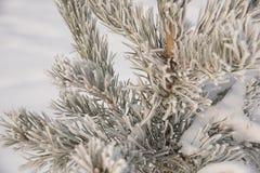 Ramos Spruce cobertos com a geada e a neve no weat de congelação Fotografia de Stock Royalty Free