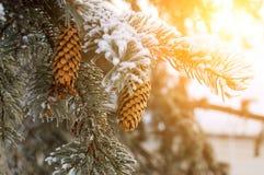 Ramos spruce do inverno com cones e neve na luz do sol morna Fotos de Stock Royalty Free