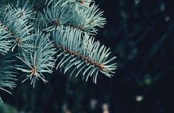 Ramos Spruce na floresta Imagem de Stock