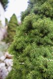 Ramos verdes bonitos do abeto em um abeto pequeno no jardim imagem de stock