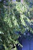 Ramos verdes bonitos do salgueiro Fotos de Stock