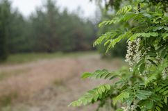 Ramos verdes da acácia com as flores brancas na perspectiva das gotas da água da floresta após a chuva Fundo borrado fotos de stock royalty free