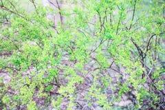 Ramos verdes de um arbusto Fotografia de Stock Royalty Free