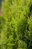 Ramos verdes de uma árvore decorativa Fotografia de Stock Royalty Free