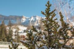 Ramos verdes do abeto com picos da neve e de montanhas no fundo Fotografia de Stock