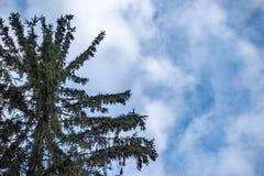 Ramos verdes do abeto vermelho contra um céu nebuloso azul fotografia de stock