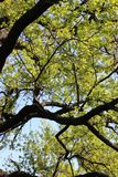 Ramos verdes do carvalho foto de stock royalty free