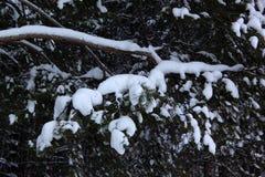 Ramos verdes do pinho coberto de neve na floresta do inverno Fotos de Stock Royalty Free