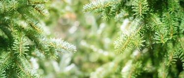 Ramos verdes dos abetos Fotografia de Stock Royalty Free