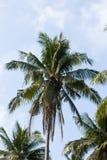Ramos verdes grandes das palmeiras contra o céu azul, dia ensolarado Fotos de Stock