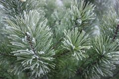 Ramos verdes na neve, fundo do pinho do Natal imagens de stock royalty free
