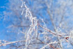 Ramos vermelhos congelados Foto de Stock Royalty Free
