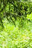 ramoscelli dell'abete sopra la radura invasa della foresta Fotografie Stock Libere da Diritti