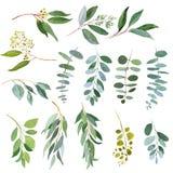 Ramoscelli dell'eucalyptus della pianta di nozze Illustrazioni dell'acquerello illustrazione vettoriale