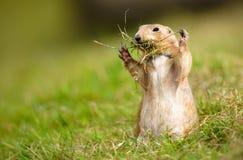 Ramoscelli della riunione della marmotta di prateria Immagine Stock