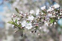 Ramoscelli di fioritura della ciliegia dei fiori bianchi in primavera Fotografia Stock Libera da Diritti