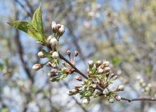 Ramoscelli di fioritura della ciliegia dei fiori bianchi in primavera Immagini Stock