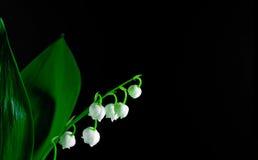 Ramoscelli di Lilly della valle isolata su fondo nero Convallaria majalis Macro Immagine Stock
