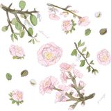 Ramoscelli e dadi di fioritura dell'illustrazione di vettore della mandorla Rosa, colori verdi, dorati, marroni Reticolo senza gi illustrazione vettoriale