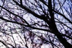 Ramoscelli neri con il cielo viola immagine stock