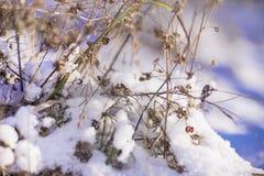 Ramoscelli secchi del ` s della pianta nel giorno di inverno soleggiato Fotografia Stock Libera da Diritti