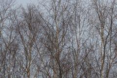 Ramoscelli sottili della betulla sul fondo bianco della neve fotografia stock