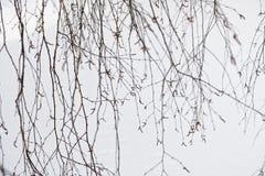 Ramoscelli sottili della betulla sul fondo bianco della neve fotografie stock libere da diritti