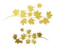 Ramoscelli strutturati dorati dell'acero di autunno Fotografia Stock