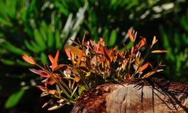 Ramoscelli verdi dell'albero di eucalyptus Immagine Stock