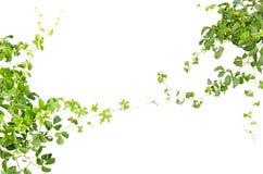 Ramoscelli verdi dell'edera Fotografia Stock