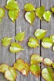 Ramoscelli verdi dell'edera sui bordi di legno Fotografie Stock