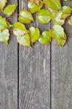 Ramoscelli verdi dell'edera sui bordi di legno Immagini Stock