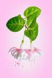 Ramoscello bello di fioritura in tonalità dei fuchs rosa bianchi e delicati Immagini Stock