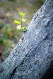 Ramoscello che germoglia da un albero Fotografie Stock Libere da Diritti
