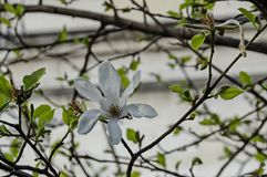 Ramoscello con fioritura e le foglie bianche dell'albero della magnolia a primavera in giardino, Sofia Fotografia Stock Libera da Diritti