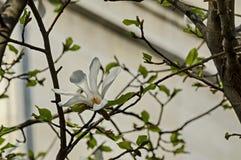 Ramoscello con fioritura e le foglie bianche dell'albero della magnolia a primavera in giardino, Sofia Immagini Stock