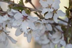 Ramoscello dei fiori bianchi del fiore di ciliegia Immagini Stock Libere da Diritti