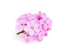Ramoscello dei fiori lilla. Fotografie Stock