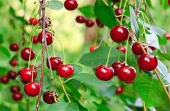 Ramoscello del ciliegio con le ciliege rosse fotografia stock libera da diritti