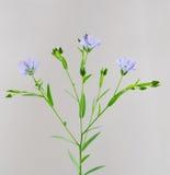 Ramoscello del lino con i fiori ed il primo piano dei germogli immagini stock libere da diritti