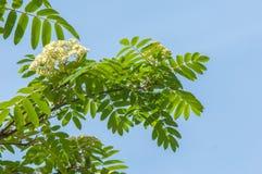 Ramoscello del pino in primavera Giovane ramo verde del pino Primavera per Fotografie Stock